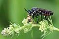 Schwarze Habichtsfliege Dioctria atricapilla female 2686.jpg