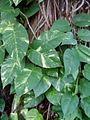 Scindapsus doré (forêt domaniale).jpg