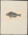 Scolopsis cancellatus - 1830-1833 - Print - Iconographia Zoologica - Special Collections University of Amsterdam - UBA01 IZ13000228.tif