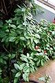 Scutellaria costaricana - Brooklyn Botanic Garden - Brooklyn, NY - DSC08172.JPG