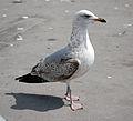 Seagull (3497898174).jpg
