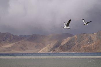 Seagull at Pangong Lake.jpg