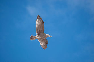 Gull - A gull in flight