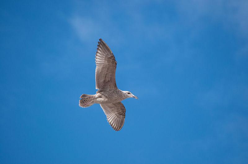 Seagull flying in blue sky.jpg