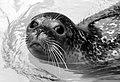 Seal at zoo.jpg