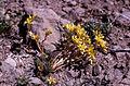 Sedum lanceolatum (NPS Yellowstone slide file 08818).jpg