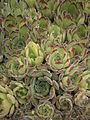 Sempervivum grandiflorum leaf.JPG