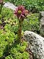 Sempervivum montanum (14492334251).jpg