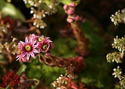 Sempervivum tectorum Almindelig Husløg.jpg