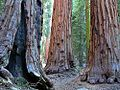 Sequoias tree forests.jpg
