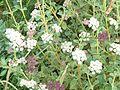 Seseli hippomarathrum - Flickr - peganum.jpg