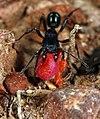 Shattuck C25901-1, Rhytidoponera, near Bungendore, NSW (3821216719) (2).jpg
