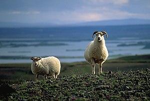 Sheep (Ovis aries) near lake Mývatn, Iceland