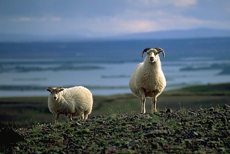 Fichier:SheepsAtMyvatn.jpg