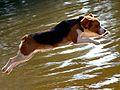 Shiloh dives in after Dara Lynn, photo by Carl Borack.jpg
