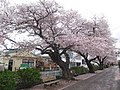 Shinkawa Cherry Blossom Avenue Apr. 2, 2021, 1.jpg
