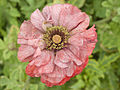 Shirley Poppy - red and white stripes 01.jpg