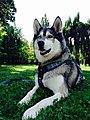 Siberische husky.jpg