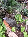 Sickle-winged Guan.jpg