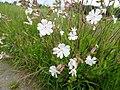 Silene latifolia Poir. Syn. Melandrium album (Mill.) Garcke (7454020742).jpg