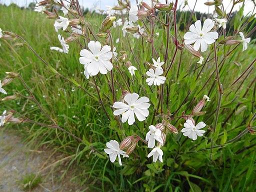 Silene latifolia Poir. Syn. Melandrium album (Mill.) Garcke (7454020742)