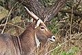 Sing-sing waterbuck (Kobus ellipsiprymnus unctuosus) head.jpg