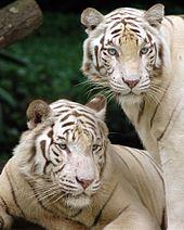 Białe tygrysy w zoo, Singapur