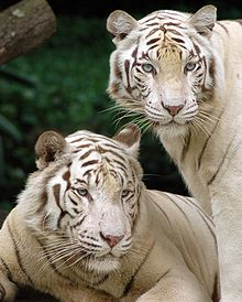 White Tiger Best Wild Animals