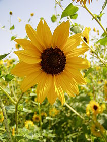 Single Sunflower 1.JPG