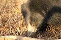 Sloth bear (13).jpg