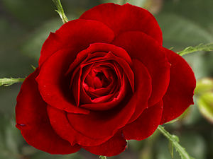 New England Baptist Hospital - The Carl J. B. and Olive Currie Rose Fund assures that all patients receive a red rose upon admittance.
