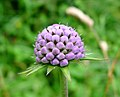 Small Scabious. . Scabiosa columbaria - Flickr - gailhampshire.jpg
