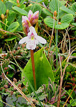 Small round-leaved Orchid.jpg