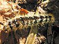Smartweed Caterpillar - Flickr - GregTheBusker.jpg