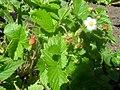 Smultronplanta.jpg