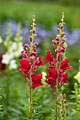 Snapdragons and Ageratum (3783463632).jpg