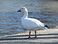 Snow goose in Central Park (33033).jpg