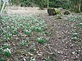 Snowdrops, The Grove - geograph.org.uk - 1700611.jpg