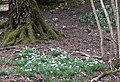 Snowdrops in Newfarm Plantation - geograph.org.uk - 1747700.jpg