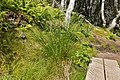 Soft Rush (Juncus effusus) - Port Rexton, Newfoundland 2019-08-14 (01).jpg