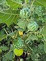 Solanum viarum 05.JPG