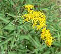 Solidago velutina ssp sparsiflora 2.jpg