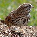 Song Sparrow-27527.jpg