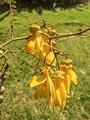 Sophora microphylla (Kōwhai) flowers 2.tif