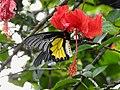 Southern Birdwing by Dr. Raju Kasambe DSCN7505 (15).jpg
