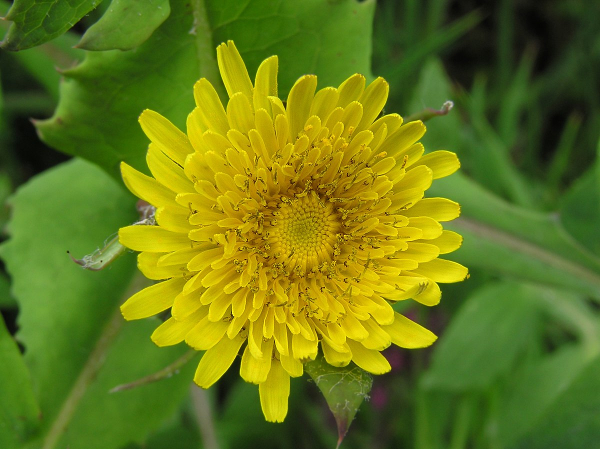 Sow Thistle Wikipedia