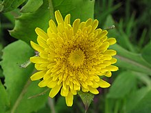 220px-Sow-thistle_2.jpg