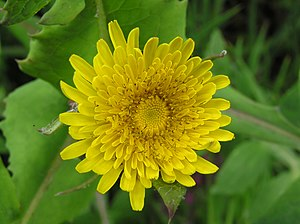 Sonchus oleraceus English: Sow-thistle flower,...