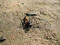 Sphecidae kpjas 26082007-2.jpg