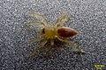 Spiderling (FG) (14255985100).jpg